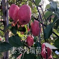 眾成一號蘋果樹苗 眾成一號蘋果樹苗多少錢一棵