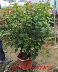 ?红色花三角梅盆景   高度90-120CM