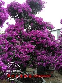 紫色花三角梅盆景 高度300-350CM