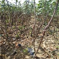 烟富10号苹果树苗 今年烟富10号苹果树苗产品及价格