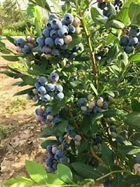 小蓝莓树苗 密斯蒂蓝莓苗供应商 批发密斯蒂蓝莓苗