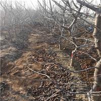 2年大果樱桃树苗价格及品种