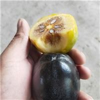 4公分脆柿子苗2020年价格报价