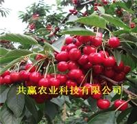 樱桃树苗、3年露天大樱桃树、樱桃树苗近期价格