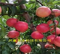 2年风味天后油蟠桃树苗、桃树苗、桃树苗近期价格