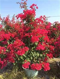红色花三角梅 自然状工程苗 高150/170cm 冠100/120cm 上等货