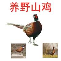 优良养野山鸡批发,养野山鸡批发养殖场,养野山鸡价格孵化厂家