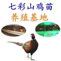 供给七彩山鸡养殖基地,批发七彩山鸡养殖基地价格,七彩山鸡养殖