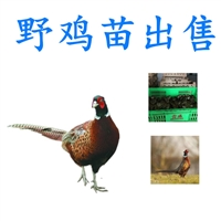 厂家供给野鸡苗哪里有卖的,孵化场野鸡苗哪里有卖的批发,野鸡苗