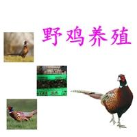 优良野鸡好养吗批发,野鸡好养吗批发养殖场,野鸡好养吗价格孵化