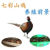 发卖七彩山鸡养殖前景,厂家批发七彩山鸡养殖前景价格,七彩山鸡