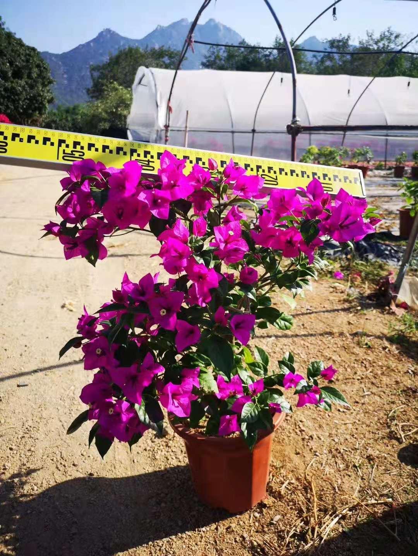 安格斯四季紫高50/60cm 冠50/60cm