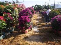 紫色花三角梅 高70/80cm 冠60/80cm