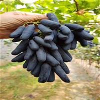 甜蜜蓝宝石嫁接苗,批发价格,果树新品种葡萄苗,几月成熟