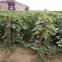 山东蓝宝石葡萄苗,根系发达,果树新品种葡萄苗,什么时候采摘