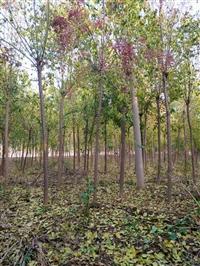 河北嫁接卫矛,丝棉木占地苗基地,三年冠丝棉木价格