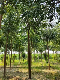 8公分矮杆丝棉木,8公分原生丝棉木,高接卫矛育苗基地