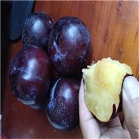 脆红李子树苗 2公分脆红李子树苗价格哪里便宜