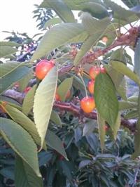 車厘子櫻桃樹苗多少錢一棵、車厘子櫻桃樹苗基地