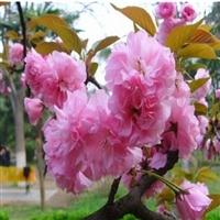 樱花12公分价格