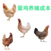 供應蛋雞養殖成本,批發蛋雞養殖