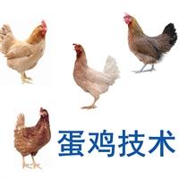 廠家供應籠養蛋雞技術,籠養蛋雞