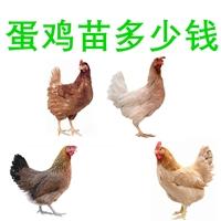 銷售蛋雞苗多少錢一只,廠家批發