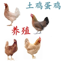 供應土雞蛋雞養殖,土雞蛋雞批發