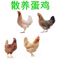 優質養殖蛋雞批發,養殖蛋雞批發