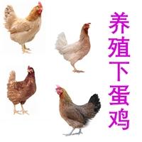 供應養殖下蛋雞,批發下蛋雞價格