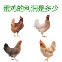 廠家供應1000只蛋雞利潤是多少