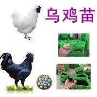 供應烏雞,批發烏雞價格,烏雞