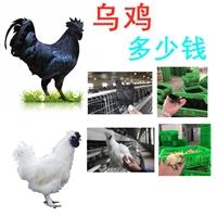 優質烏雞多少錢一斤批發,烏雞