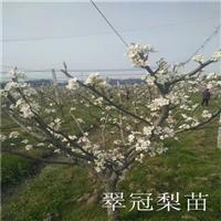 浙江翠玉梨苗 翠玉梨树苗 日本秋月梨苗 各种苗木