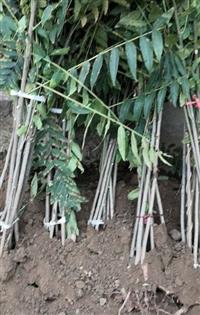 香椿苗 香椿树苗价格 红油香椿苗批发基地供应商