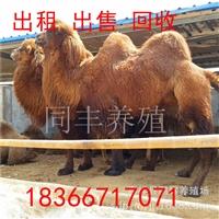 骆驼养殖出售 骆驼回收 观赏骆驼价格 双峰骆驼出租
