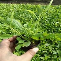 柳叶马鞭草 马鞭草基地 具有清热解毒功效