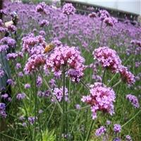 柳叶马鞭草种子 多年生草本植物 可做观赏植物