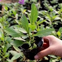 柳叶马鞭草种子 花海用苗 可做观赏植物