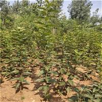 大秋甜柿子樹苗 一株大秋甜柿子樹苗產品及價格