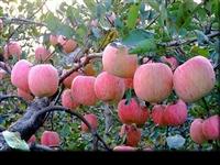 苹果苗 矮化苹果苗 鲁丽苹果苗 维纳斯黄金苹果苗