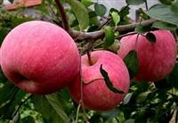山东鲁丽苹果苗  山东早熟苹果苗  山东红富士苹果苗