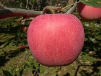 苹果苗产地  基地苹果苗  批发苹果苗  价格苹果苗