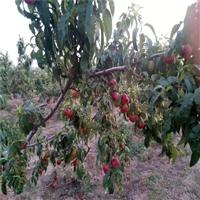 金陵黄脆桃树苗价格单、陕西省供应价格