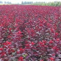 红叶矮樱扦插时间