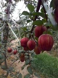 小梨树 种植水晶梨树苗 水晶梨树苗公司