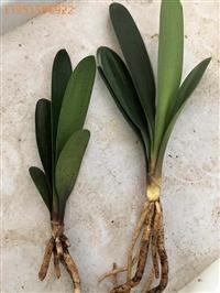 常年快递 多种多样的君子兰袋苗 裸根君子兰芽苗及其种子