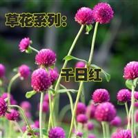 千日红种子 百日红火球庭院景观绿化花卉盆栽易活花籽 千日紫种子