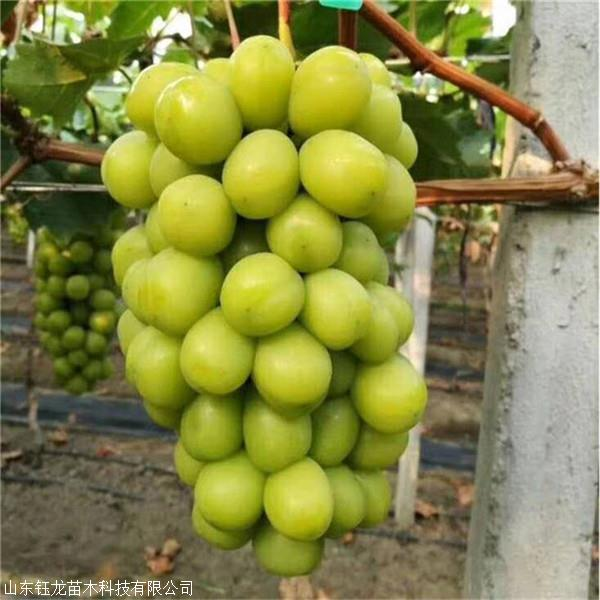夏黑葡萄苗种植技术视频 夏黑葡萄苗那里有卖 现挖现卖