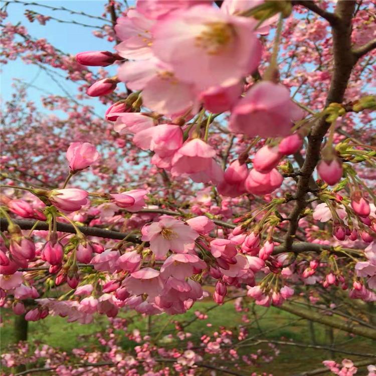 樱花价格高杆染井吉野阳光樱观赏碧桃西青区